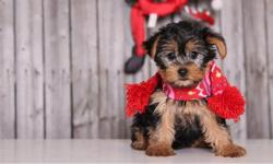 jxnfus Hand raised Yorkie puppies set to go this Christmas