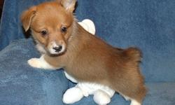 KBCIUCD Pembroke Welsh Corgi Puppies For Sale