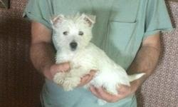 Kc West Highland White Terrier pups for you