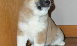 khgasdh Vals Male and Female Shiba Inu Puppies for Sale