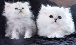Kitten Persian Chinchilla and Shaded Silver CFA registered