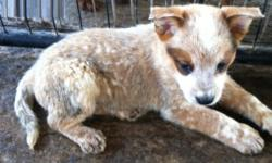 .kmbvjd Australian Cattle Dog Puppies For Sale