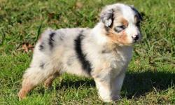 KSIWYDDI Outstanding Australian Shepherd Puppies for sale