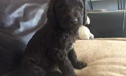 Labradoodle female Puppy, 8weeks, Non-shedding,