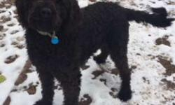 Labradoodle Registered, 15month, Non-shedding curly coat,