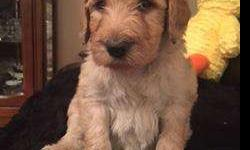 Labradoodle Registered CKC Puppies, F1B, Non-shed,