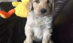Labradoodle Registered CKC Puppy, F1B, Non-shed,