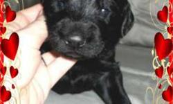 Labradoodles ~ Black Males ~ Playful Loving Puppies ~ SEE