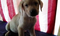 Labrador Retriever Puppies Akc