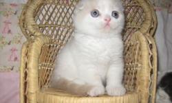 Lidkfjtt wagsqirt Scottish Fold Kittens With Folded Ears