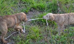 Little Man Available!! Chesapeake Bay Retriever Puppies for