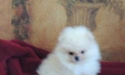 lkjfgh purebred White Pomeranian puppy for sale