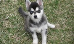 lkuhfopied Alaskan Klee Kai Puppies Male and Female