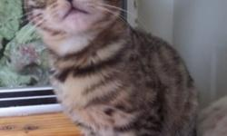 Lovable Bengal Kittens for sale