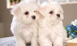 Lovable Maltese Puppies Available