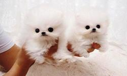 Lovely/Active adorable purebred white Pomeranian Puppies
