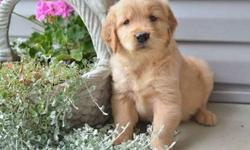 Lovess Golden Retriever Puppies