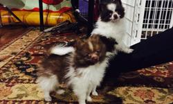 [LOWERED$$$]AKC chocolate and white tea cup Pomeranian