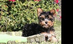 *magnificient male and female teacup yorkie puppies for