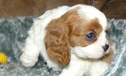 Male And Female Cavalier King Charles Spaniel For Sale