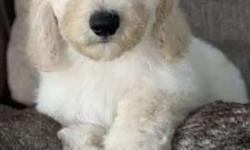 Male and female F1B English cream golden doodles