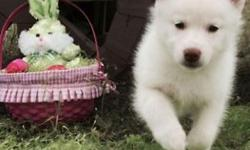 _+))))_++_)_)(((Male & Female AKC Siberian Husky with full