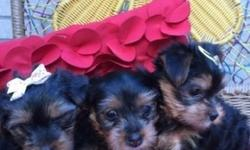 Male & Females AKC Champion Yorkie Puppies