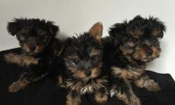 Male & Females Yorkie Puppies