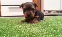 Male & Girl Pure Yorkie Puppies