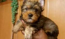 male golden color yorkie