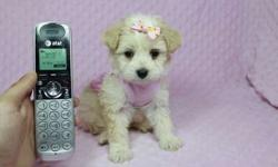 Maltipoo Puppies In Las Vegas - For Sale By Breeder