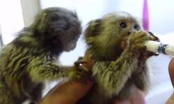 marmoset twin monkeys for sale.