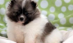 Marvelous White Teacup Pomeranian Pups For Sale