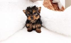 mashdi Purebred tiny teacup Yorkie puppies
