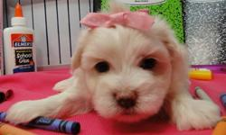 Potty:Trained MF Maltese Puppies Available:{504}-[phone