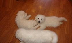 mfhsrf Great Pyrenees Puppies For Sale