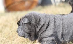 Mini Shar-Pei Blue Male