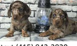 Miniature Smooth Haired Dachshund Litter