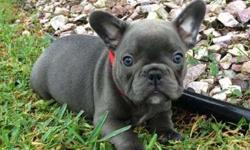 Morall Blue French Bulldog Puppies