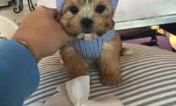 Morkie Puppies available-Dad 3.5 lbs & Mom 5.5 lbs-Gorgeous