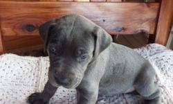 mtqx Great Dane puppies for sale