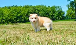 MUT Mix Breed ( Pomsky ) puppies available
