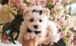 Nde Male/Female Maltese Puppies available for sale