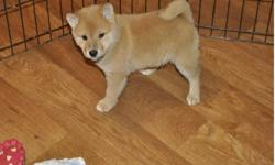 ndfgdx Home Raise Shiba Inu puppies for lovely homes now