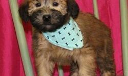 NDUsfd Soft Coated Wheaten Terrier Puppies For Sale