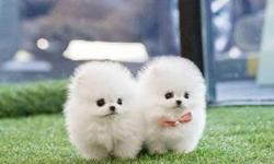 Neat TEACUP Pomeranian Puppies