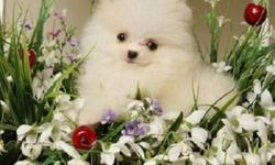 new homes for High Quality and Healthy AKC reg Pomeranian