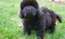 Newfie Puppies Due Mid March
