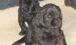Newfoundland Puppies From Health Tested Parents