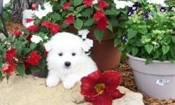 Nminiature Eloved American Eskimo puppies